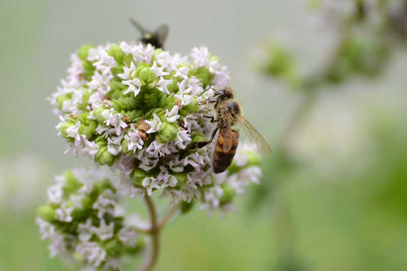 A close up horizontal image of a bee feeding from a white Origanum vulgare var. hirtum flower pictured on a soft focus background.