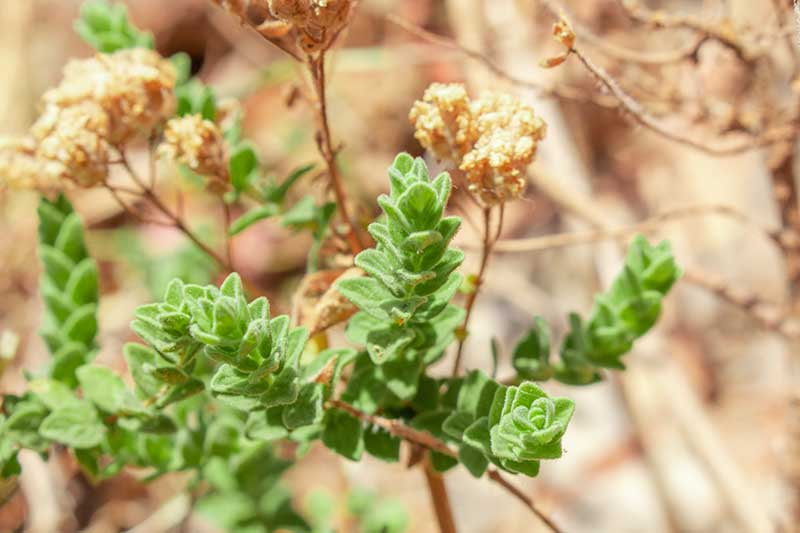 A close up horizontal image of Origanum vulgare var. hirtum aka Greek oregano growing in the garden pictured on a soft focus background.