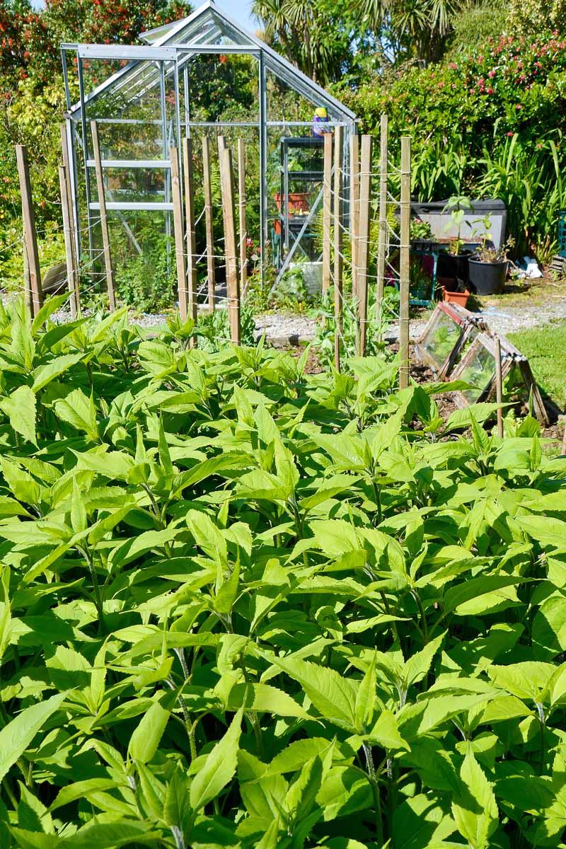 Jerusalem artichokes growing in a home vegetable garden near a small greenhouse.