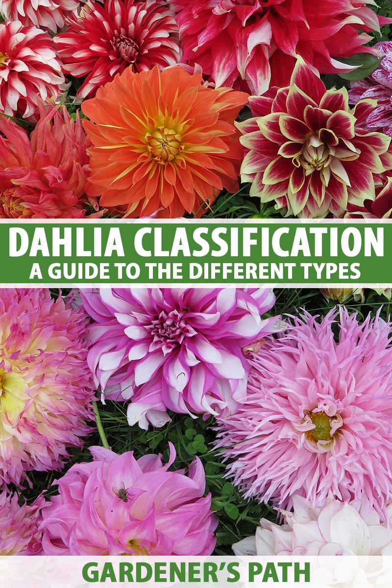 A close up vertical image of different dahlia types in a variety of different colors and forms. To the center and bottom of the frame is green and white printed text.