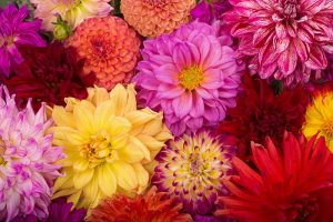 Dahlia Flower Types: A Guide to Groups and Classification