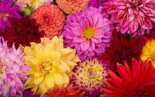 A close up horizontal image of a number of different types of dahlia flowers.