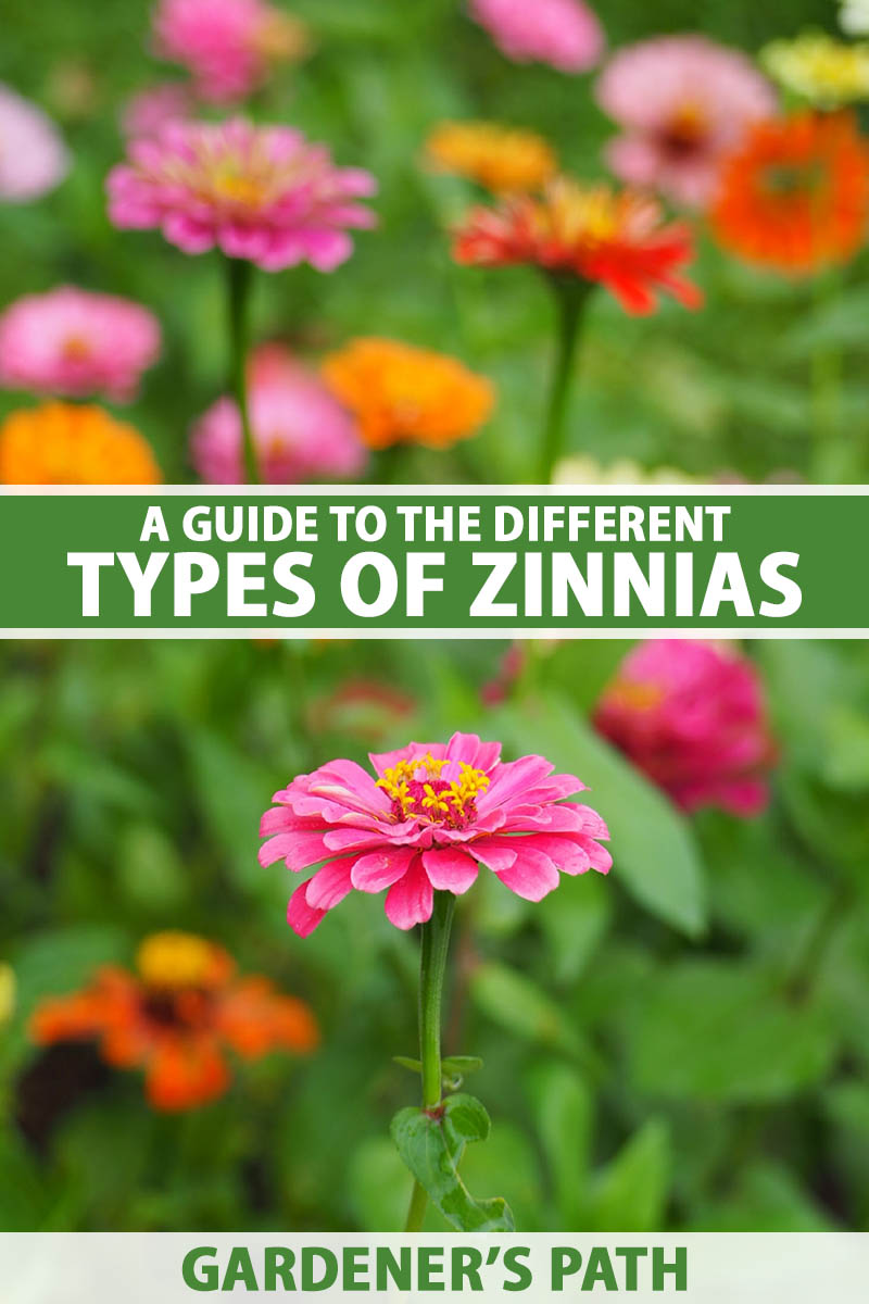 A vertical image of different colored zinnias growing in the garden pictured on a soft focus background. To the center and bottom of the frame is green and white printed text.