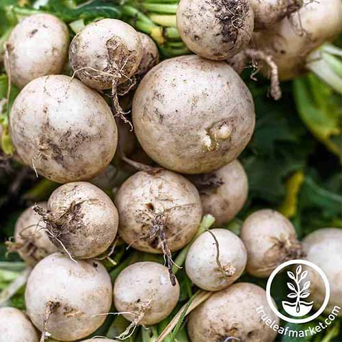 A close up square image of a bunch of freshly harvested 'Hailstone' radishes. To the bottom right of the frame is a white circular logo with text.