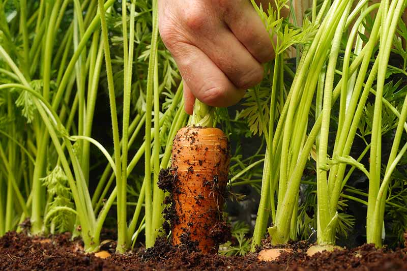 A close up horizontal image of a hand from the top of the frame harvesting a carrot from the garden.
