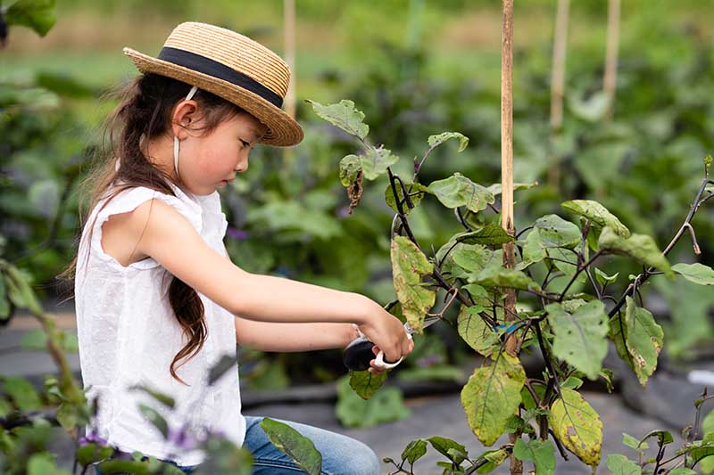 A close up horizontal image of a young girl harvesting eggplants from rows of plants in the garden.