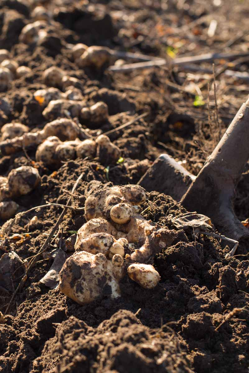 Jerusalem artichoke tubers being harvested from the soil with a shovel.