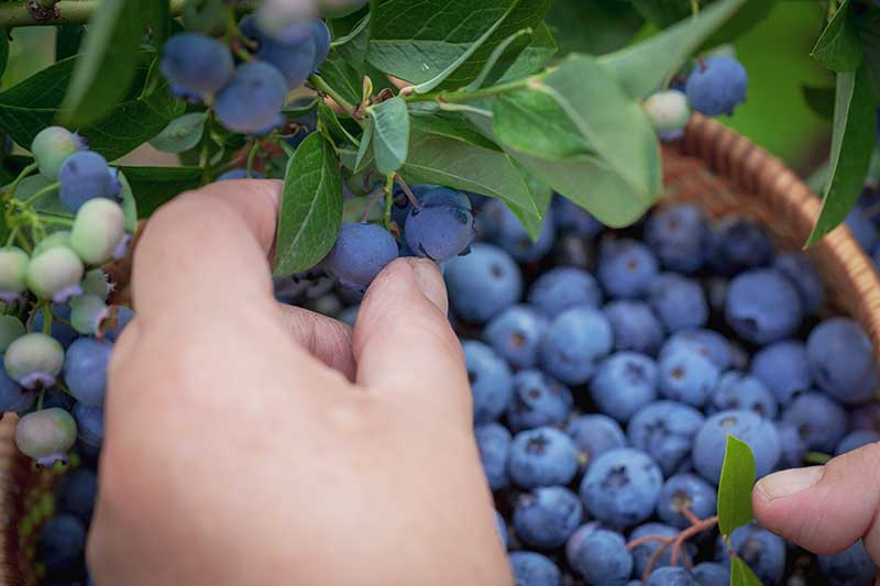 A close up horizontal image of a hand from the bottom of the frame harvesting blueberries and placing them in a wicker basket.