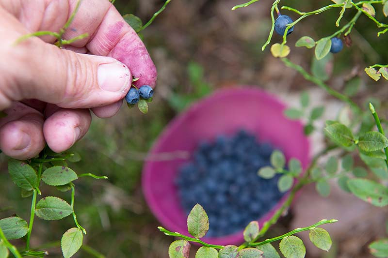 A close up horizontal image of a hand from the left of the frame picking wild blueberries pictured on a soft focus background.
