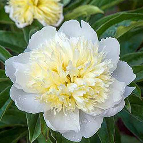 A close up square image of Paeonia 'Honey Gold' growing in the garden pictured on a soft focus background.