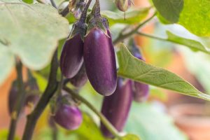 Eggplant Spacing: How Far Apart to Plant
