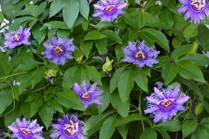 Fertilize Your Passionflower Vines to Boost Growth and Production