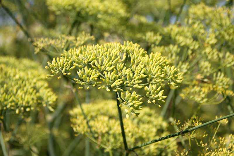 A close up horizontal image of aniseed (Pimpinella anisum) growing in the garden.