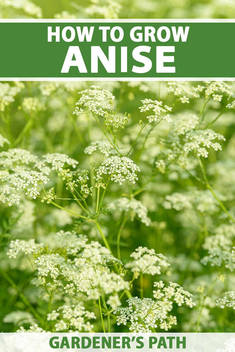 A close up vertical image of Pimpinella anisum (aniseed) growing in the garden fading to soft focus in the background. To the top and bottom of the frame is green and white printed text.