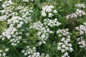 Tips for Growing Caraway in Containers