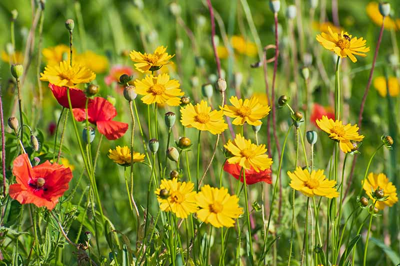 A close up horizontal image of bright yellow coreopsis flowers growing in a wildflower meadow with poppies, pictured in bright sunshine.