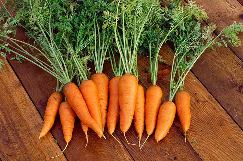 A Heavy Soil Hero: How to Grow Danvers Carrots