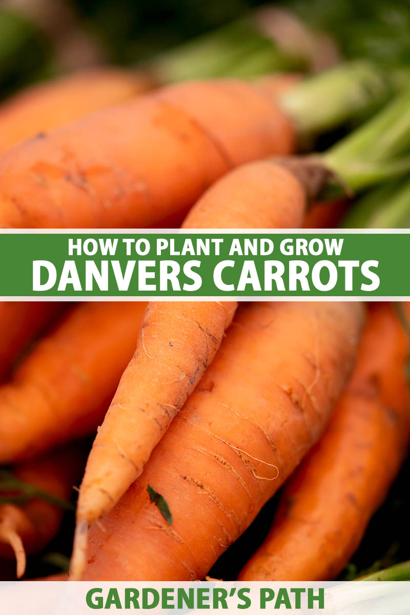 A close up vertical image of a pile of 'Danvers' carrots freshly harvested and cleaned, pictured on a soft focus background. To the center and bottom of the frame is green and white printed text.