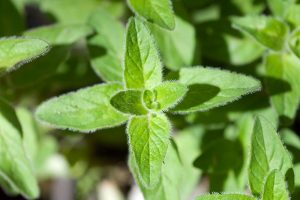How to Grow Flavorful Greek Oregano