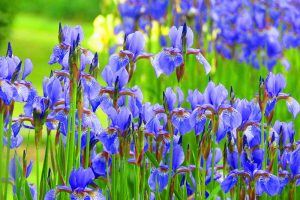 A close up horizontal image of bright blue irises growing in the spring garden.