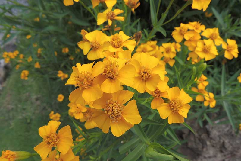A close up horizontal image of the yellow flowers of Mexican tarragon (Tagetes lucida) growing in the garden.