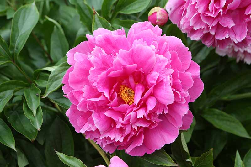 A close up horizontal image of a bright pink peony flower growing in the garden.