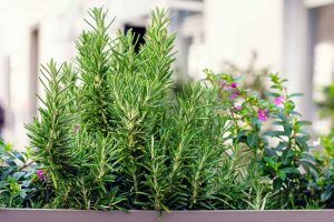 Tips for Growing Rosemary in Containers