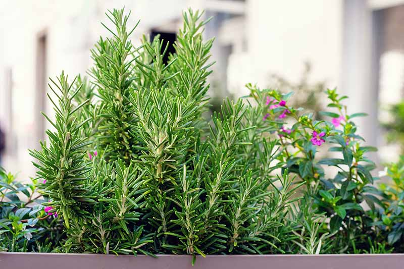 A close up horizontal image of a rectangular planter growing a variety of herbs on a balcony.