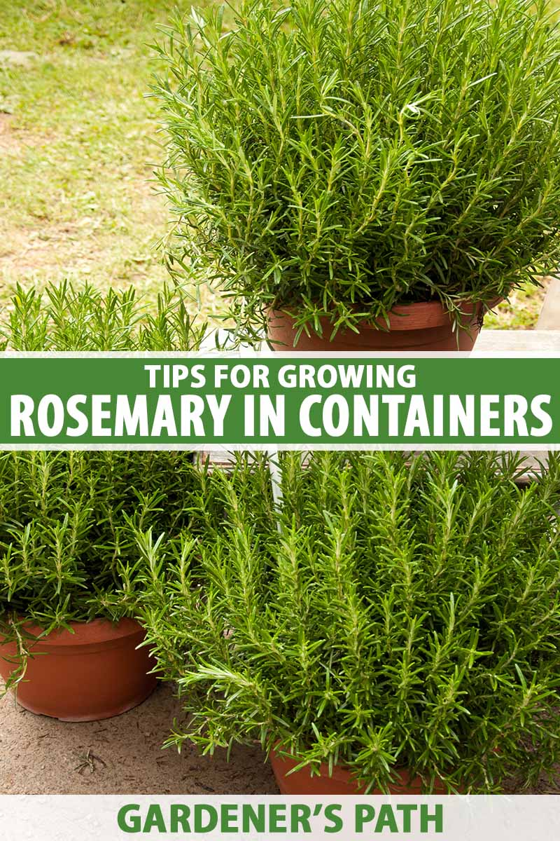 A close up vertical image of large terra cotta pots growing large rosemary plants set on a patio with a lawn in the background. To the center and bottom of the frame is green and white printed text.