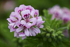 How to Plant and Grow Scented Geraniums