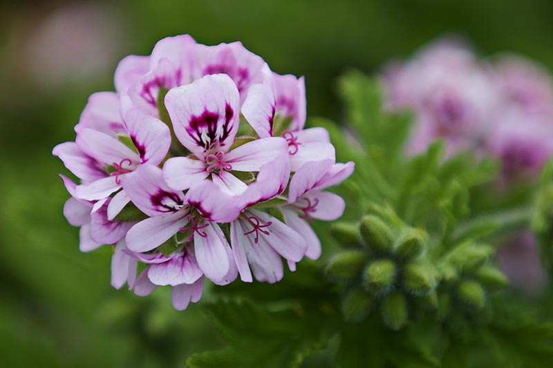 A close up horizontal image of a scented geranium flower pictured on a soft focus background.
