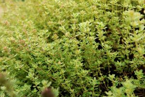 How to Plant and Grow Lemon Thyme