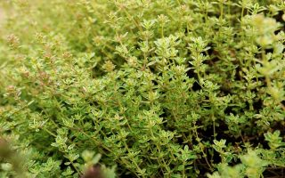 A close up horizontal image of lemon thyme (Thymus Citriodorus) growing in a herb garden.
