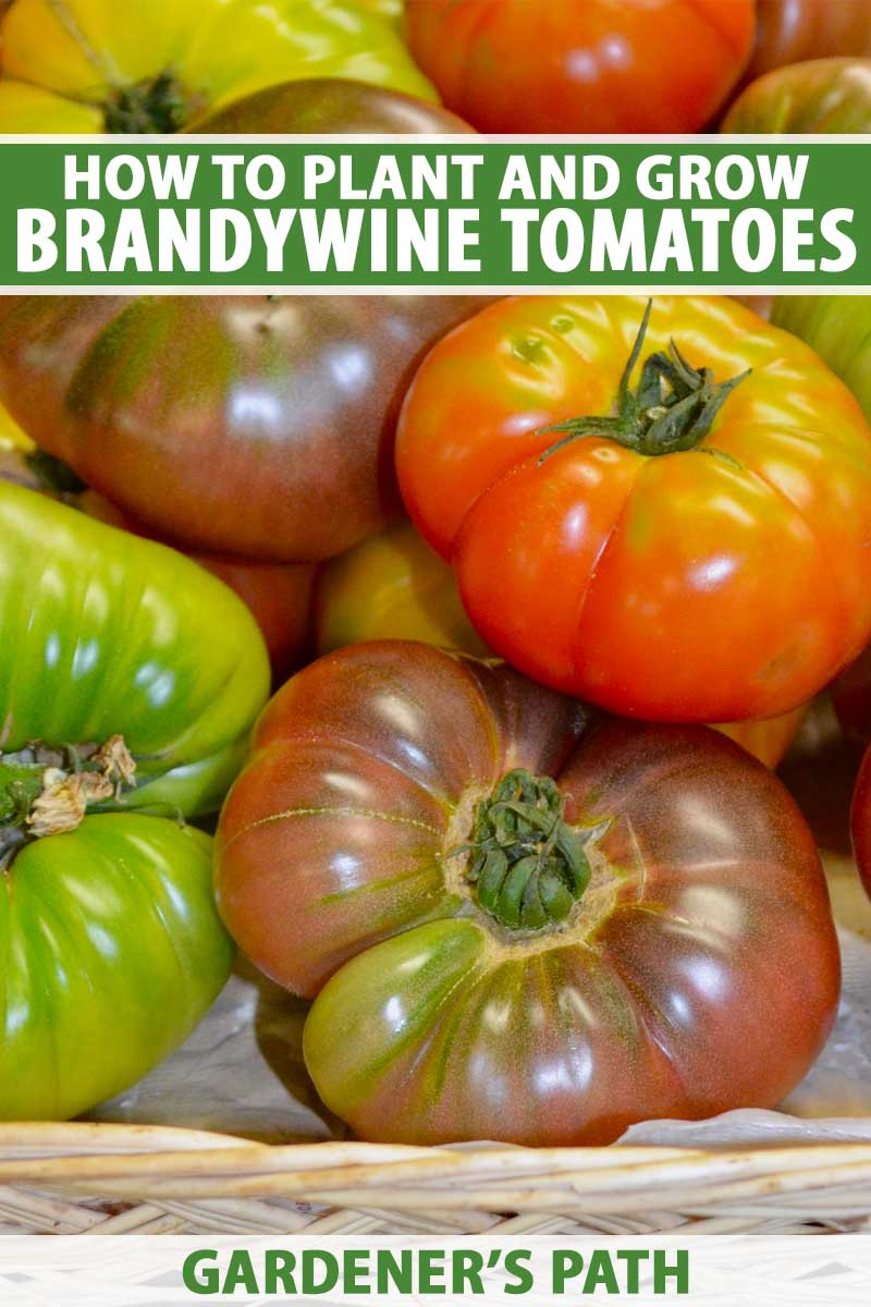 A close up vertical image of a wicker basket filled with freshly harvested 'Brandywine' tomatoes in a variety of different colors To the top and bottom of the frame is green and white printed text.