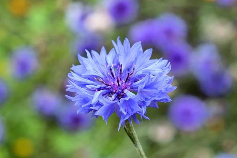 A close up horizontal image of a bright blue Centaurea cyanus flower pictured on a soft focus background.