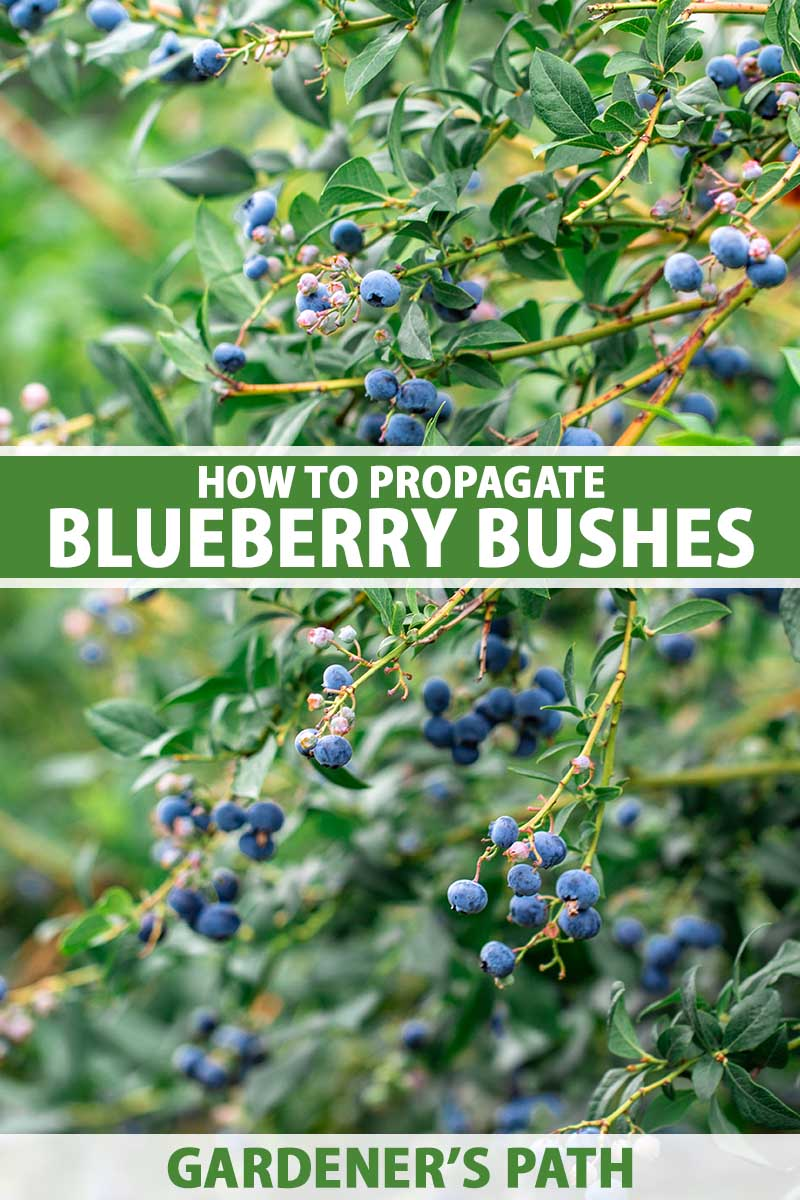 A close up vertical image of a blueberry bush with ripe fruits growing in the garden pictured on a soft focus background. To the center and bottom of the frame is green and white printed text.