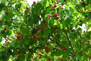 A close up horizontal image of Kousa Dogwood with bright red berries growing wild pictured in light filtered sunshine.