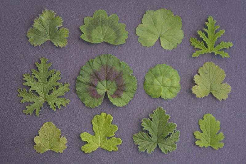 A horizontal image showing the leaf detail of scented geranium foliage which varies according to the variety, set on a dark gray surface.