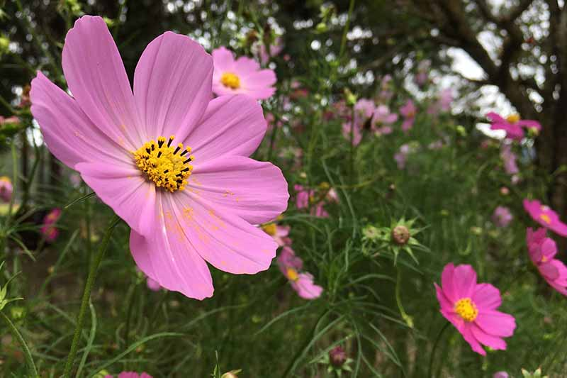 A close up horizontal image of light pink 'Sonata' flowers growing in the garden with trees in soft focus in the background.