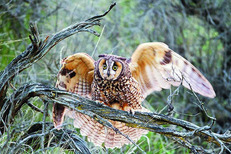 A close up horizontal image of a long-eared owl with wings outstretched pictured on a soft focus background.