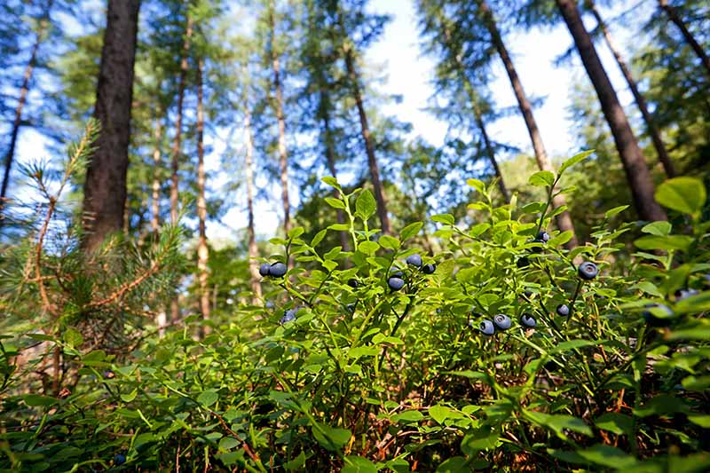 A horizontal image of lowbush or wild blueberries growing at the edge of a forest.