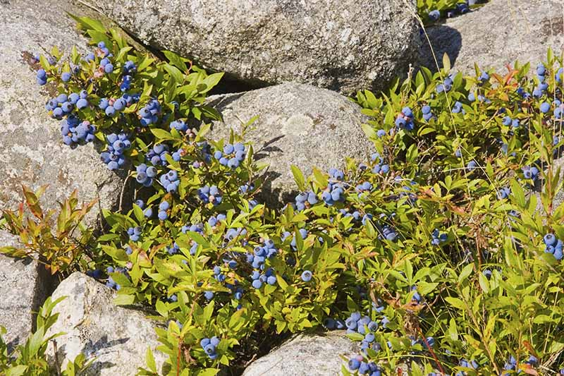 A close up horizontal image of lowbush or wild blueberries growing in a rocky location.
