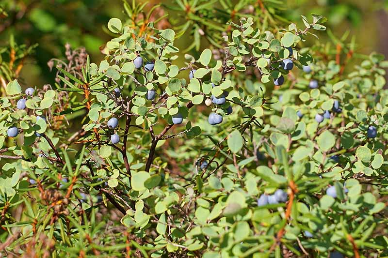 A close up horizontal image of Vaccinium angustifolium growing in the garden pictured in light sunshine.