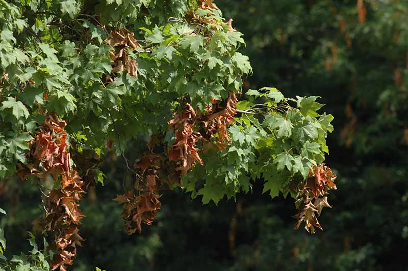 A close up horizontal image of a maple tree that has suffered damage from periodical cicadas pictured in light sunshine on a soft focus background.