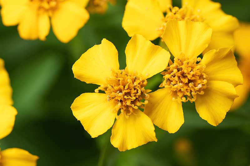 A close up horizontal image of yellow Mexican tarragon (Tagetes lucida) flowers pictured on a soft focus background.