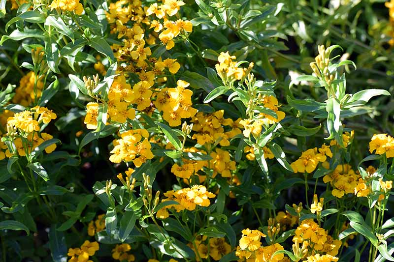 A close up horizontal image of yellow Mexican tarragon flowers growing in light filtered sunshine.