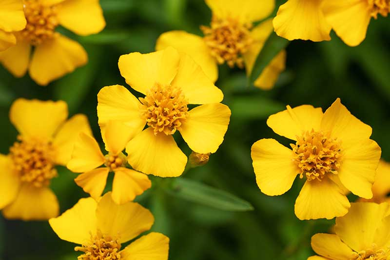A close up horizontal image of the yellow flowers of Tagetes lucida (Mexican tarragon).