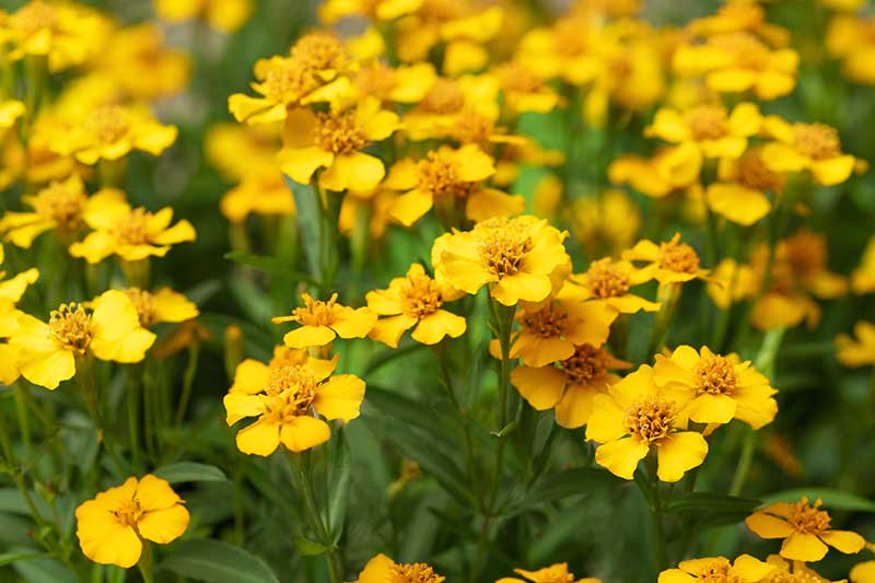 A close up horizontal image of Mexican tarragon (Tagetes lucida) sporting bright yellow flowers growing in the herb garden.