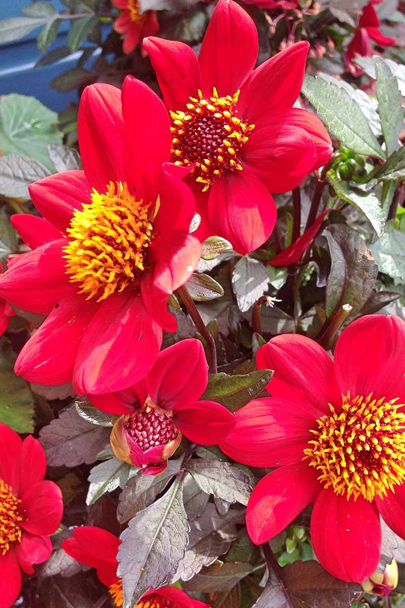 A close up vertical image of bright red Mignon Single petaled dahlia flowers growing in the garden.