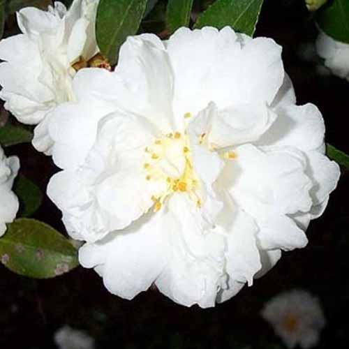 A close up square image of a white 'Mine No Yuki' camellia flower pictured on a dark soft focus background.